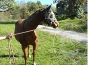 Immagine di Cavalla Quarter Horse nata nel 2010